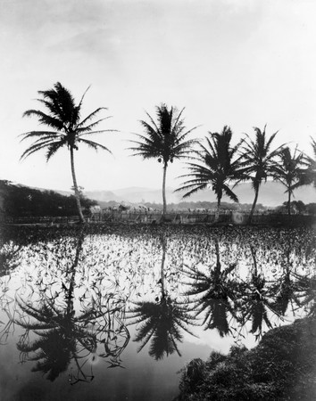 2859_elephant_ear_plants_and_palm_trees_reflecting_in_water_hawaii